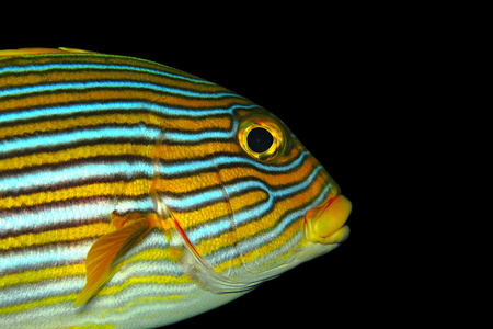 Yellow orange oriental sweetlip fish portrait with black background. Detail of animal underwater fish head, eye, lips and fin.