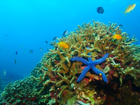 Colorful underwater coral reef with blue sea star, starfish. Various fish in the azure ocean, scuba diving activity picture. Stockfoto