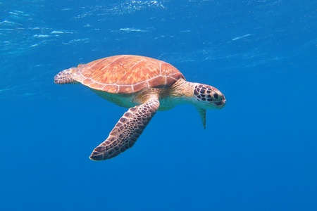 Colorful sea turtle swimming in the azure ocean. Blue fresh background, wild cute underwater sea animal. Scuba diving tropical reef photo. 免版税图像