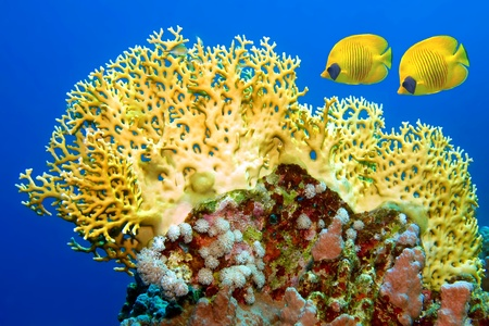 Couple of yellow masked butterflyfish (Chaetodon semilarvatus) swimming next to the fire coral reef.