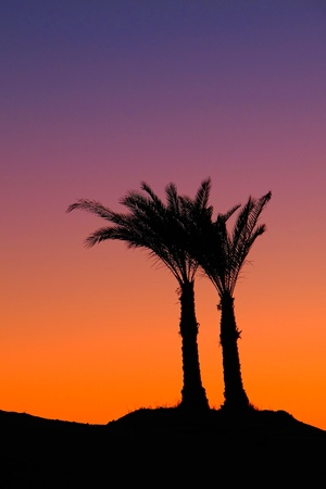Palm trees in the pink orange purple dusk. Beautiful Egypt serene holiday scene, black silhouette of palm tree.