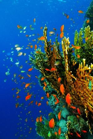 Geeloranje koraalrif met school van kleurrijke kleine vissen - anthias, damselfish. Vuur koraal in diepblauw water met vissoep-scubaduiken.