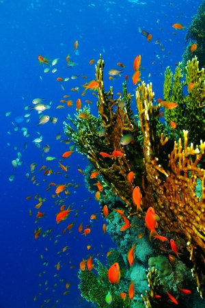 Yellow orange coral reef with school of colorful small fish - anthias, damselfish. Fire coral in deep blue water with fish soup scuba diving scenery.