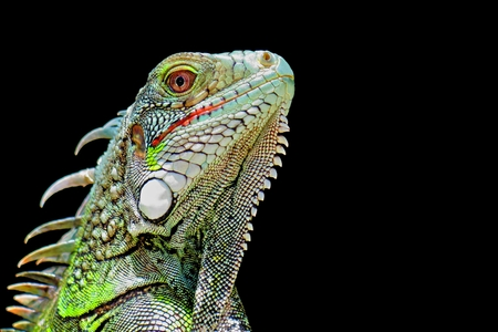 Green iguana profile detail with black background. Lizard's head close-up view. Small wild animal looks like a dragon. Stok Fotoğraf