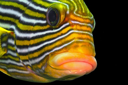 Curious colorful sweetlip tropical fish with black background. Coral reef fish head detail with face looking into the photo camera. Scuba diving underwater photography. 免版税图像