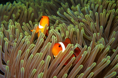 Two orange nemo clown fish (anemonefish) in the green anemone. Pair of nemo fishes in the anemone home. Colorful tropical reef scenery during scuba diving.