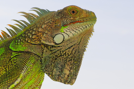 Bright green iguana head profile on light blue background. The lizard that looks like a small green dragon.