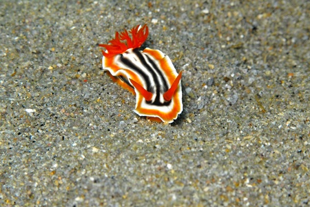 Underwater tropical nudibranch sea slug - pyjama slug - on the grey sandy bottom. Muck scuba diving in the exotic ocean. Macro picture of underwater sea slug creature. 免版税图像