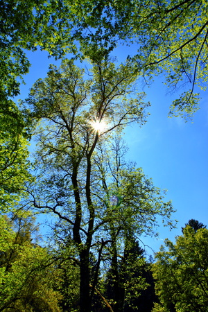 Sun shining through fresh green spring trees. Serene summer green nature scenery. Romantic walk in the green park under the blue sky and shining sun.