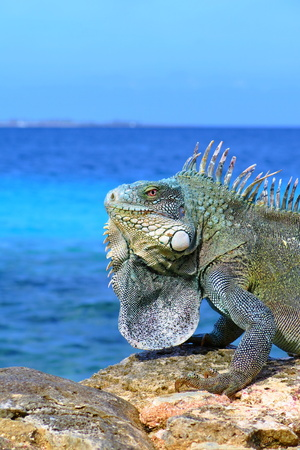 Iguana lizard, small dragon on the rocky beach.