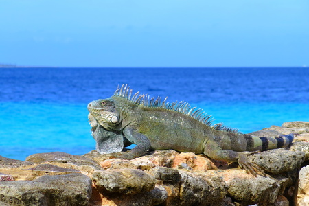 Big green grey iguana lizard sitting on the stones near the sea.