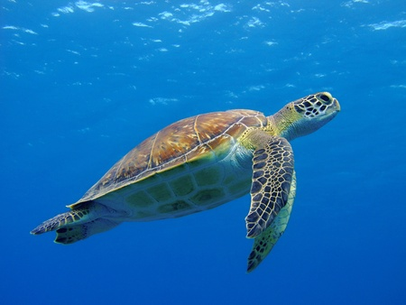 Happy cute sea turtle swimming freely in the blue ocean.