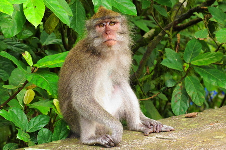 Macaque monkey sitting in tropical  forest near a temple. Stok Fotoğraf
