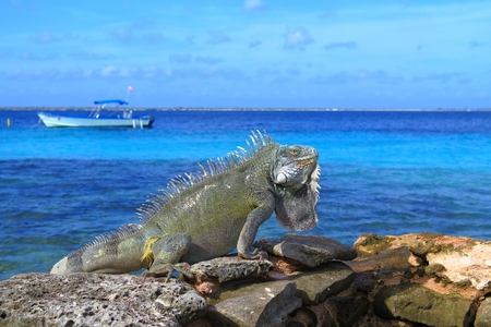 Tropical green iguana sitting on the rocks close to the sea.