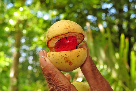 Fresh muscat nut - nutmeg on the tropical village plantation in farmer's hand. 免版税图像