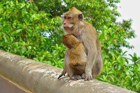 Monkey with baby sitting on the stone edge in tropical forest.