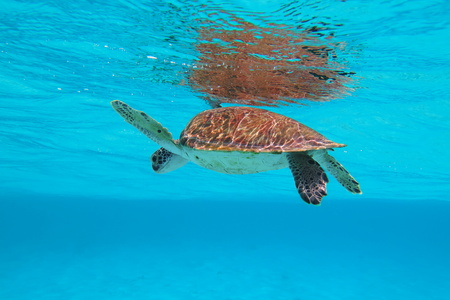 Underwater sea turtle swimming in the azure ocean under water surface.