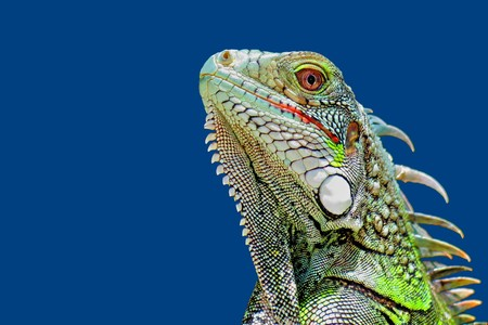 Bright green iguana head profile with blue sky background.
