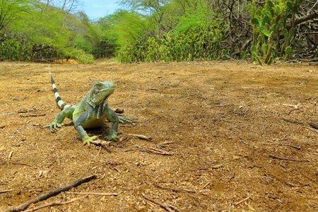 Green iguana lizard on the sandy road.