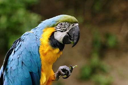 Tropical blue yellow exotic parrot looking into the camera