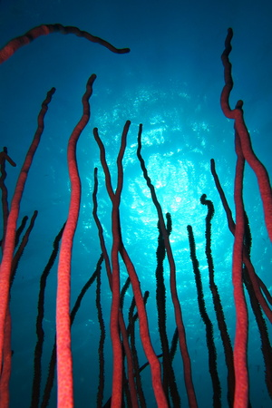 Red bright soft coral shapes on the underwater tropical reef. 免版税图像