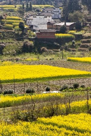 yellowing: Rape flowers were yellowing the fields  Stock Photo