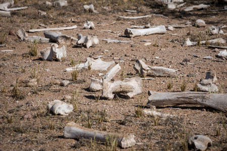 Scattered dry cow bones on Arizona dessert floor.