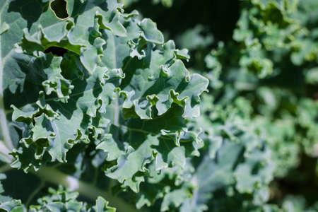 Macro shot of green healthy kale