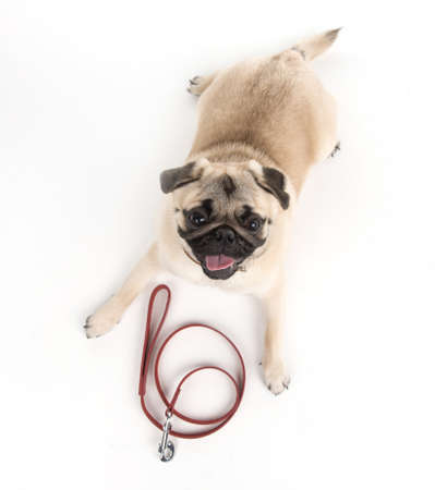 Lets go for a walk! Top view of funny dog lying down near the dog leash photo