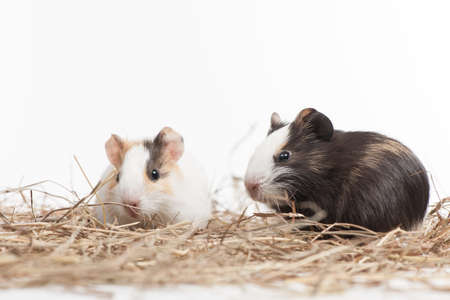 hamsters: Two small hamsters on white isolated background. Two nice hamster sitting on hay