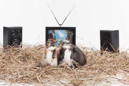 Two small hamsters on white isolated background. Two nice hamster sitting with tv and speakers behind photo