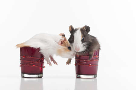 hamsters: two fluffy funny hamster into glasses. two baby guinea pig in glass isolated