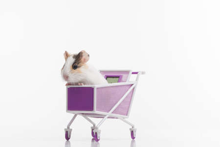 hamster: one funny hamster with shopping cart. one rodent sitting in purple cart