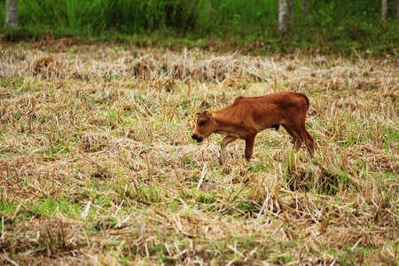 bullock animal: The little calf in the cornfield Stock Photo