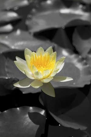 outstanding: outstanding Lotus Stock Photo