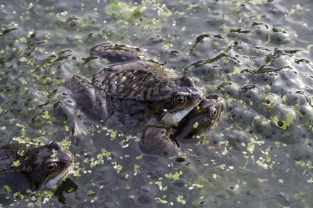 frog egg: Mating frogs and spawn Stock Photo