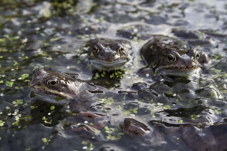 spawn: Mating frogs and spawn Stock Photo