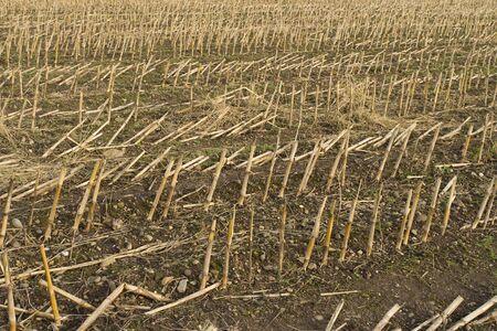 Field of corn stalks after harvest