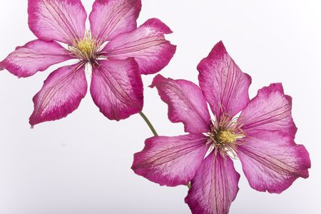 Purple flowers isolated on white
