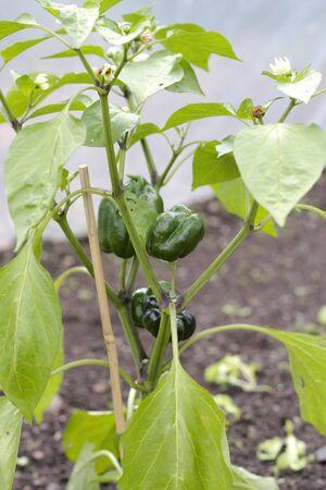Planta de cultivo de pimiento en invernadero Foto de archivo - 3669921