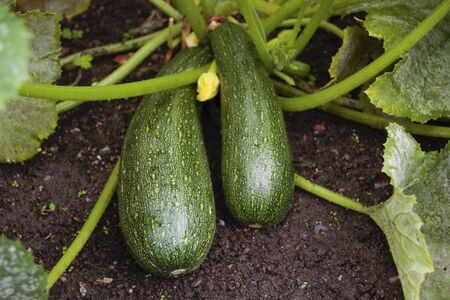 Marrows growing in garden
