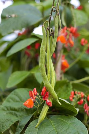 Runner beans on vine growing in garden photo