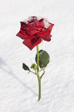 Red rose closeup on snow background Stock Photo