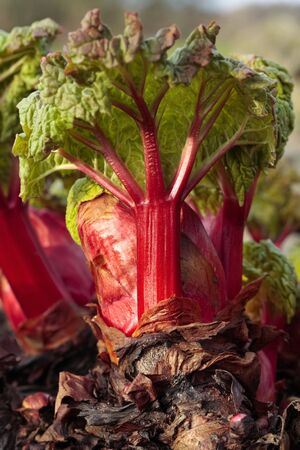 Fresh rhubarb shoots photo