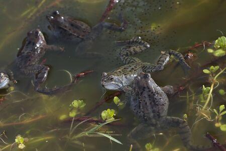 spawning: Ranas en el estanque de desove Foto de archivo
