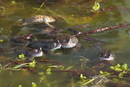 Frogs spawning in pond photo
