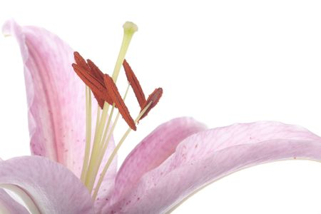 stargazer lily: Stargazer lily flower closeup