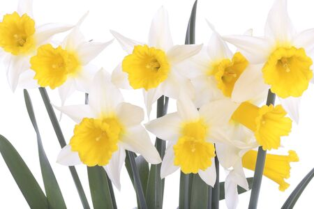 Yellow white daffodils isolated over white background photo
