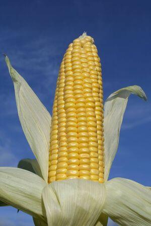 Ripe corn cob closeup in summertime photo