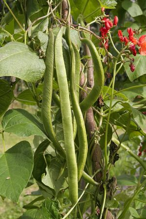 Runner beans on vine photo
